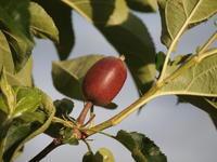 小さな林檎たち - 八ヶ岳 革 ときどき くるみ
