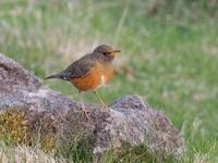 前日光ハイランドでアカハラを撮りました - コーヒー党の野鳥と自然 パート2
