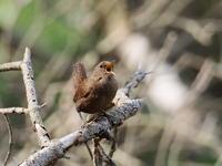 前日光でミソサザイが囀る - コーヒー党の野鳥と自然 パート2