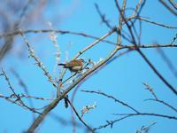 お山に入り・・・エゾムシクイ・クロジ。 - 鳥見んGOO!(とりみんぐー!)野鳥との出逢い