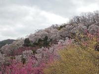 桜物語2019 春その7花見山公園 - デザインスタジオ バオバブのスクラップブック