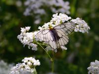 春の妖精・蝶たち(山麓のウスバシロチョウ) - トドの野鳥日記