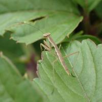 オオカマキリの幼虫? Tenodera sinensis - 写ればおっけー。コンデジで虫写真