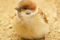スズメの子 - 風見鶏日記