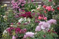 6月を迎える小さなローズガーデン - 季節の風を追いかけて