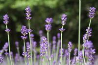 キレイが楽しい、ガーデンめぐり - 神戸布引ハーブ園 ハーブガイド ハーブ花ごよみ