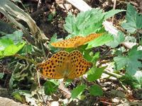 クモガタヒョウモンの交尾拒否行動 - 秩父の蝶