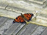 ヒオドシチョウ - 秩父の蝶