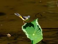 蓮池のキセキレイ - 下手の横好き