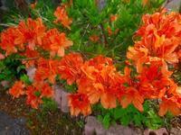 ツツジの花が咲いてきています~~。 - 乗鞍高原カフェ&バー スプリングバンクの日記②