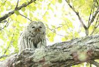 エゾフクロウ - 北の野鳥たち