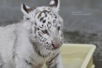 2019.6.1 宇都宮動物園☆ホワイトタイガーのグーナくん【White tiger baby】 - 青空に浮かぶ月を眺めながら