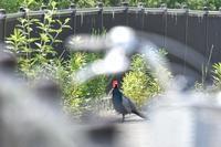 彩都やまぶき大橋キジ他 - 不定期更新 彩都付近の自然観察日記