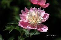 芍薬が咲く寺院 - 晴れ時々そよ風