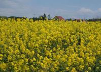菜の花が咲く風景 - お茶にしませんか2