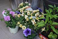 お安い苗でハンギング - my small garden~sugar plum~