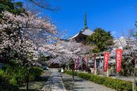 桜咲く京都2019本法寺 - 花景色-K.W.C. PhotoBlog