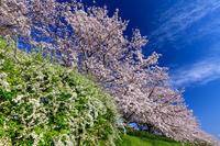 桜咲く京都2019木津川堤の桜並木 - 花景色-K.W.C. PhotoBlog