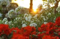 Rose GardenⅡ - SWAN