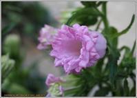 シリーズ家で咲く花(2019)-8 カンパニュラ八重咲 - 野鳥の素顔 <野鳥と日々の出来事>