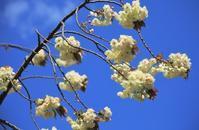 ウコン桜 - 都忘れと忘れな草