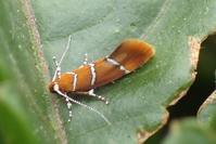 シロスジベニマルハキバガ? Promalactis enopisema - 写ればおっけー。コンデジで虫写真