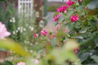 6月の小さなローズガーデン - 季節の風を追いかけて
