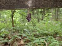テングチョウ の羽化 - 秩父の蝶