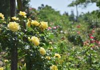 湧永庭園のバラ - できる限り心をこめて・・Ⅲ