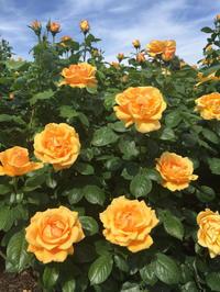 Rose Garden - Hobby な らいふ