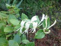 スイカズラ - だんご虫の花