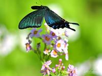 九輪草とアゲハチョウたちカラスアゲハ1/2メッセージ - 蝶鳥写楽