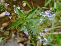 オオイヌノフグリに似た川辺の草:オオカワヂシャ(大川萵苣) - 世話要らずの庭