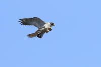 ハヤブサやっと青空 - 気まぐれ野鳥写真