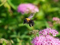クマバチとシモツケ - 『私のデジタル写真眼』