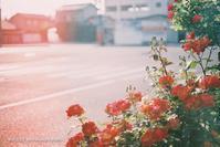 赤い光と赤い薔薇。 - Yuruyuru Photograph