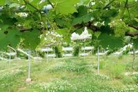 蒲萄の花 - ~葡萄と田舎時間~ 西田葡萄園のブログ