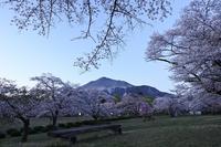 秩父 羊山公園 桜 - photograph3