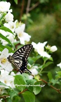 バイカウツギ ベルエトワール - 花と風の薫り