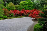 キリシマツツジの庭(曼殊院門跡) - 花景色-K.W.C. PhotoBlog