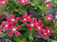 本店の花苗たちです(^-^) - ブレスガーデン Breath Garden 大阪・泉南のお花屋さんです。バルーンもはじめました。