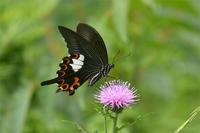 和歌山モンキアゲハ - 蝶と自然の物語