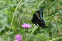 和歌山カラスアゲハ - 蝶と自然の物語