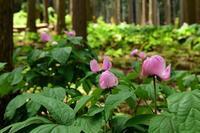 林の中のベニバナヤマシャクヤク美山町内久保 - 峰さんの山あるき