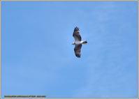 ミサゴ獲物はゲット - 野鳥の素顔 <野鳥と日々の出来事>