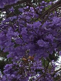 ジャカランダの紫の花 - アバウトな情報科学博士のアメリカ