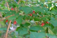 ■赤い木の実19.6.2(ウグイスカグラ、ニワトコ、オニシバリ) - 舞岡公園の自然2