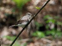 軽井沢野鳥の森にいたコサメビタキ - コーヒー党の野鳥と自然 パート2