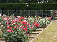 神代植物園~バラとアジサイ - ひつじのつぶやき