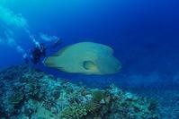 メガネモチノウオ - 沖縄 ダイビング 水中写真 フォトギャラリー